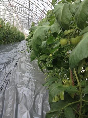 契約農家のトマトなう